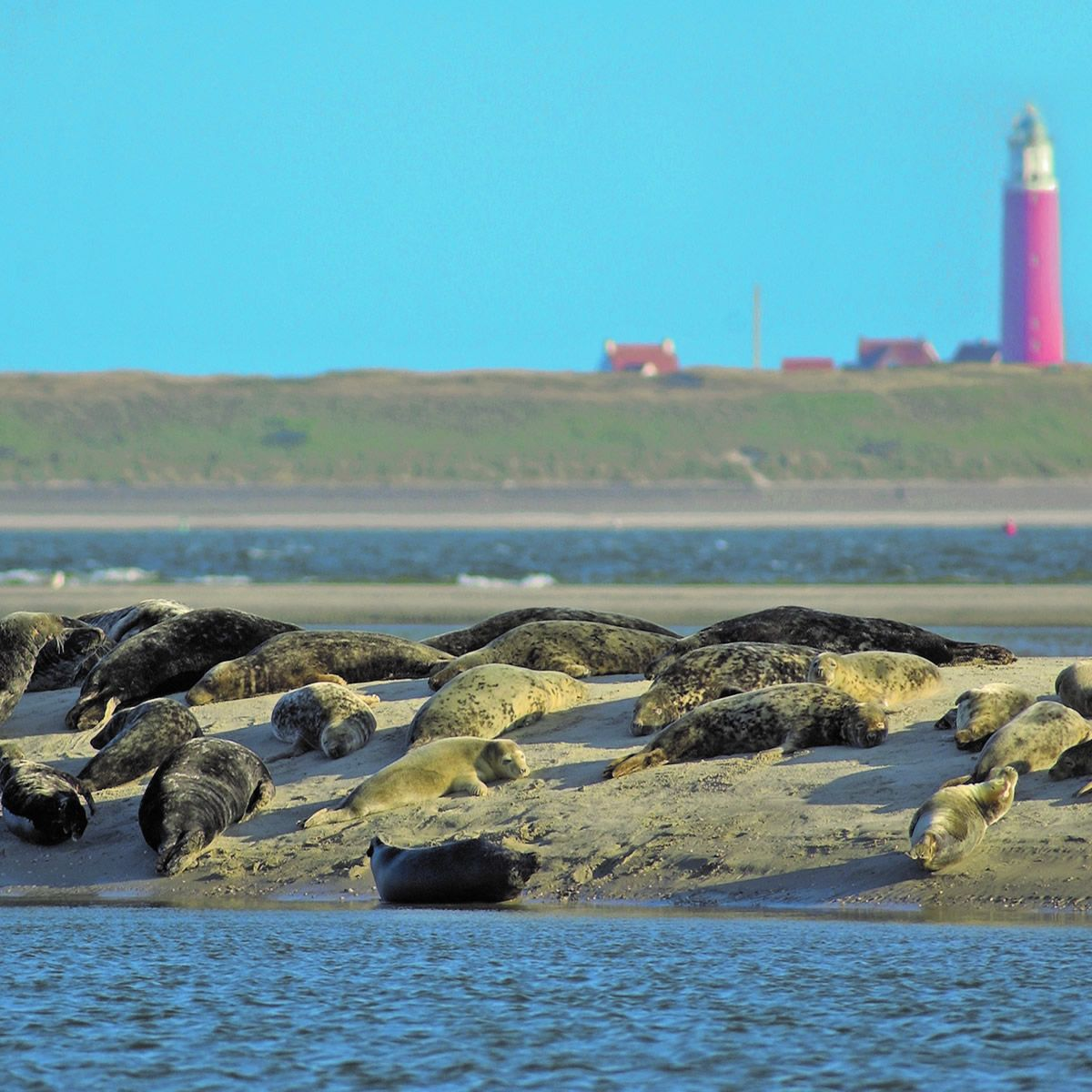 Seals by the lighthouse