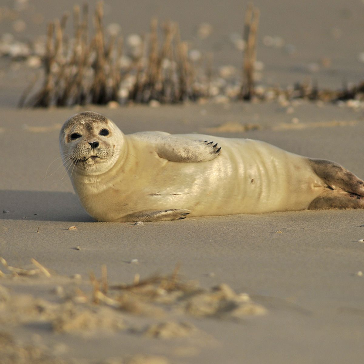 Jonge gewone zeehond