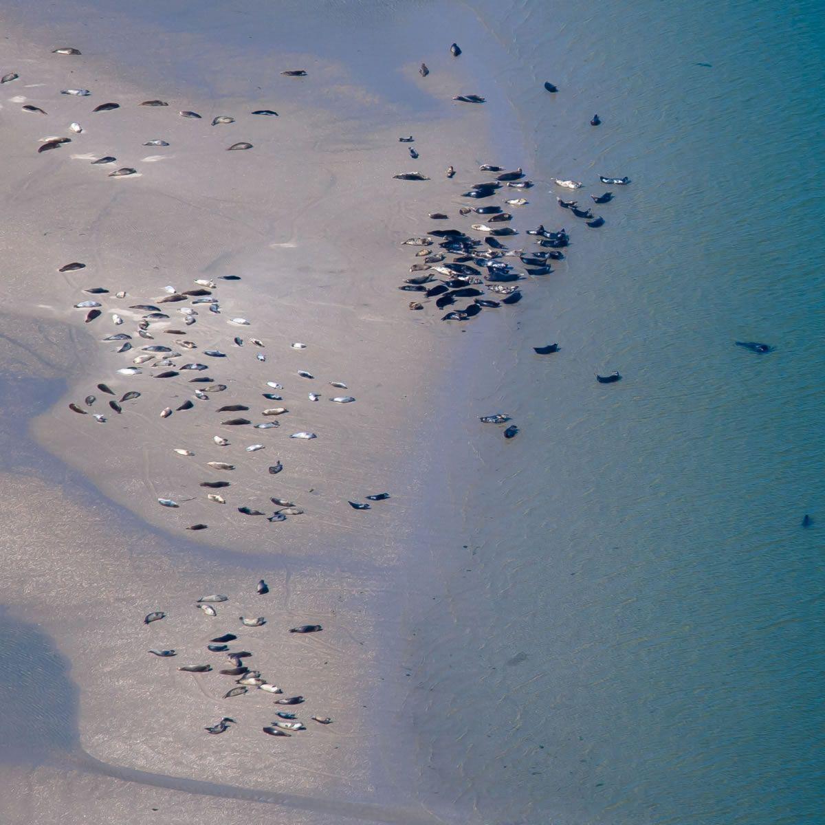Grote groepen zeehonden